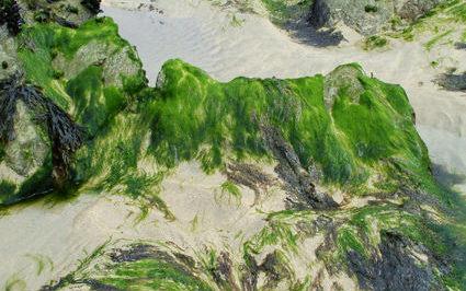 algen-fur-bio-kraftstoff-forschung